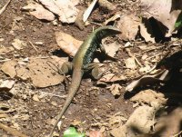 Leguan, Indian River Tour, Dominica